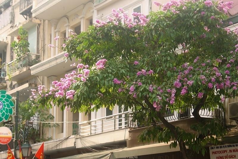hoa bang lang khoe sac khap pho phuong thu do